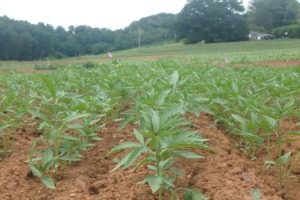 Cover photo for Western NC Industrial Hemp Trial Is Up and Growing!