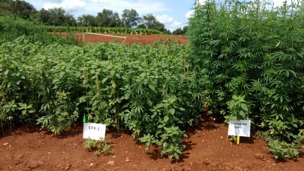 CFX 1 and Carmagnola Select industrial hemp varieties