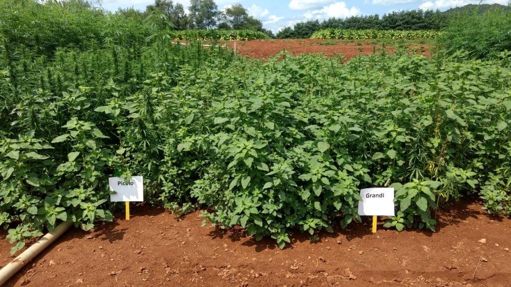 Picolo and Grandi industrial hemp varieties