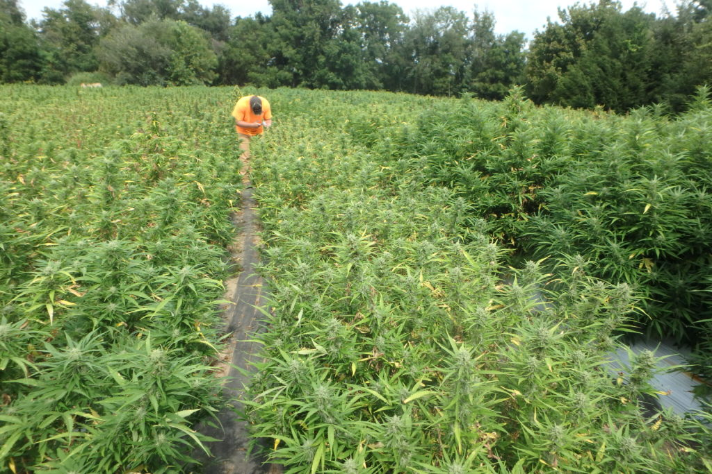 researcher in hemp field