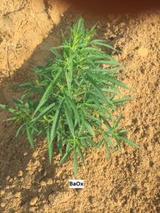 Cover photo for Early Planted Hemp