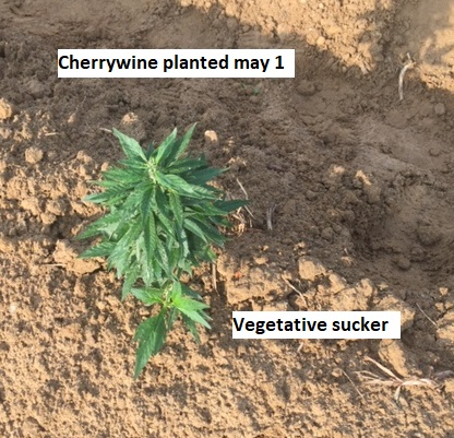 Image of cherrywine and vegetative sucker