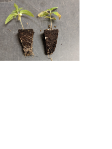Cover photo for Potential Need for Hardening Off Float Produced Hemp Transplants