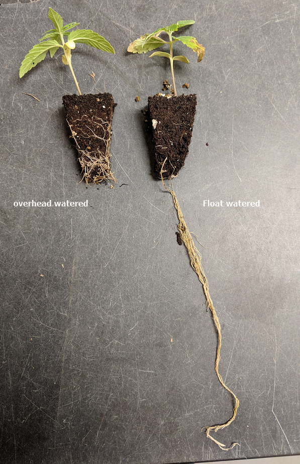 Good root development on overhead watered seedling versus poor root development on float watered seedling.