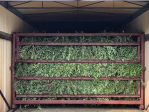 Cover photo for Hemp Harvest Timing and Drying