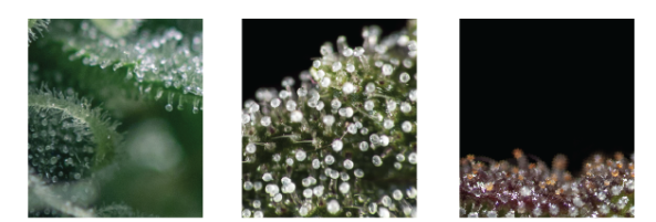 Image of trichomes