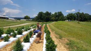 Two women looking at CBD hemp plants in the field