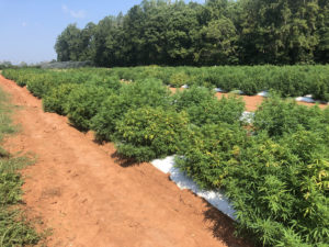 Cover photo for Changes in Hemp Interim Final Rule for 2020
