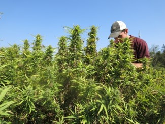 Person in hemp field