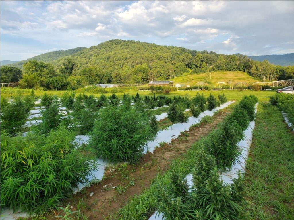 Hemp plants in field